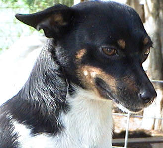 What two breeds of dog were originally used to create the rato terrier breed?