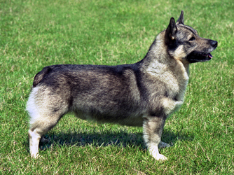 The Swedish Vallhund should weigh ?