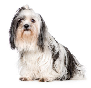 The Shih Tzu was almost completely wiped out during the Chinese Revolution.How many males and how many females were saved ?
