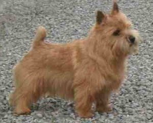 When was the Norwich Terrier first recognized in the show ring ?