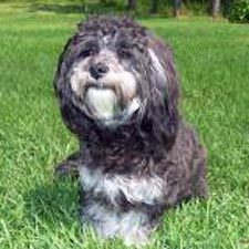 The Kyi-Leo was first introduced in the 1950s in the San Francisco 湾 area 由 the accidental crossing of a Lhasa Apso and a what ?