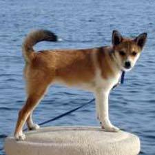 There are estimated how many Norwegian Lundehund 狗 in the world ?