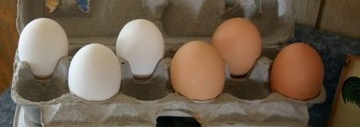 Aside from the color, are there any other differences between brown eggs and white eggs?