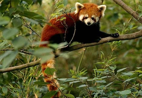 I think he looks more like a red panda.
