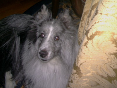 Sheltie, and I love him! =3