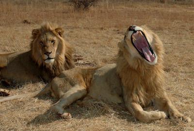 i would be a lion au a black mamba(type of sanke)