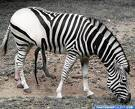 ever been mooned 由 a zebra? well ya have now