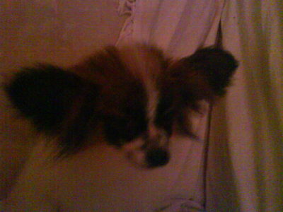 i have a brown,white and black papillon his names buttons:)