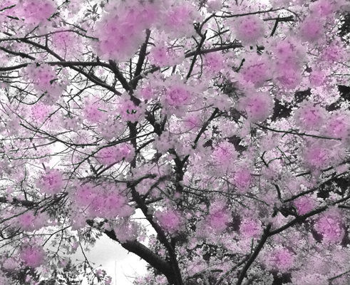 could आप grow चेरी blossoms in america?