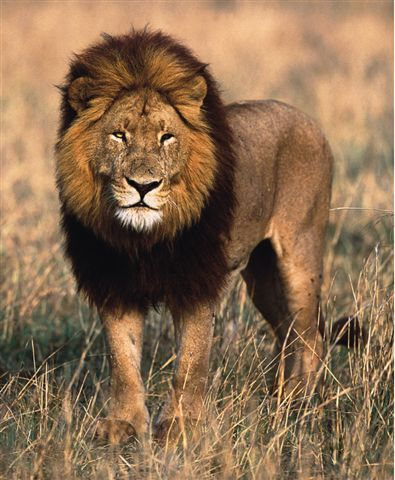 In real life some male lions are born with black