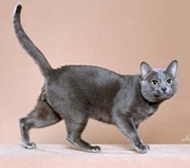 K - Korat: The Korat is an ancient shorthaired breed named after a province of Thailand.