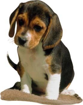 Do you love beagles how much out of ten tell me your thoughts on beagles and do you think this pictur