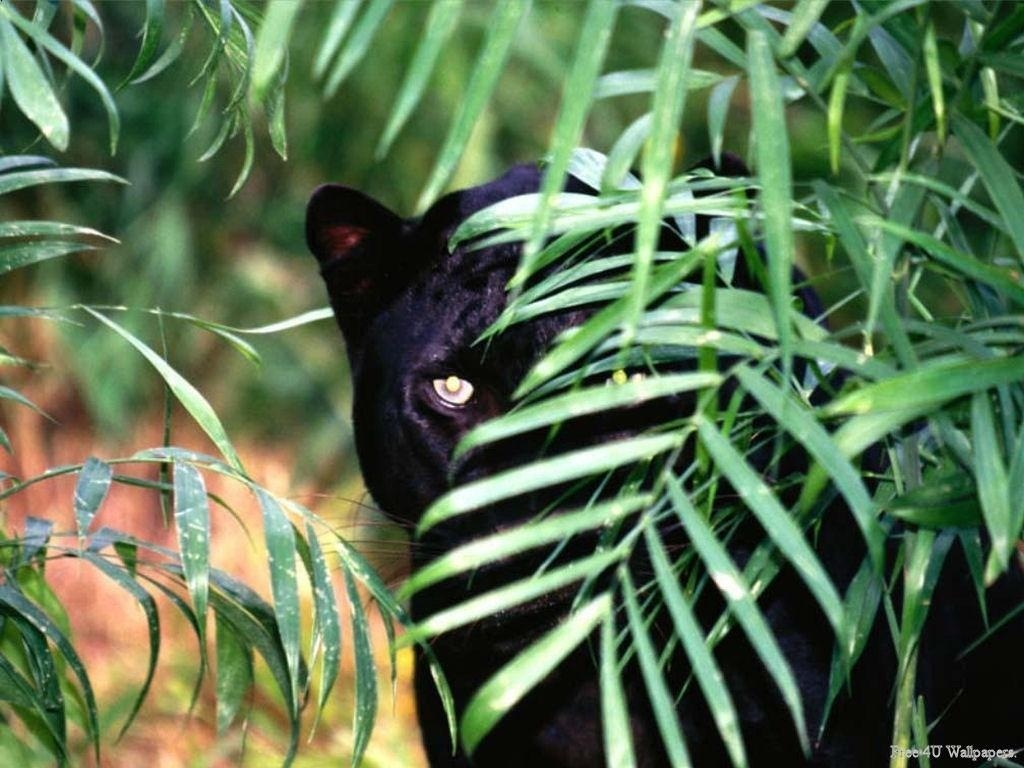 Wild animals black panther