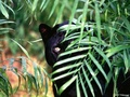 wild-animals - Black Panther wallpaper
