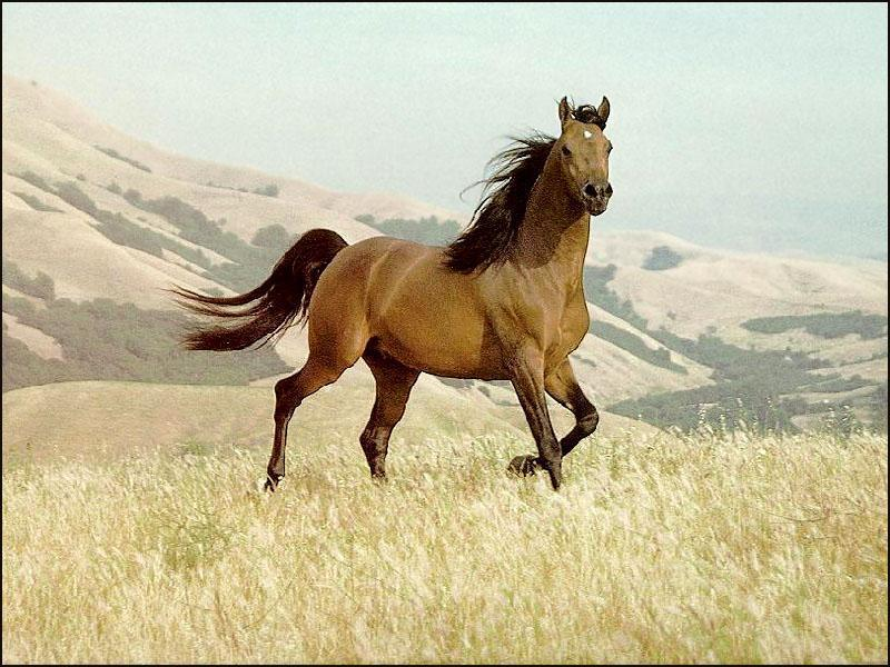 brown horse wallpapers brown wallpaper 2659032 fanpop