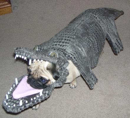 Crocodile Puppy