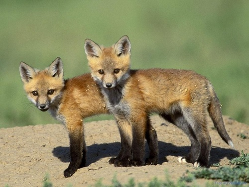 Foxes  - wild-animals Wallpaper
