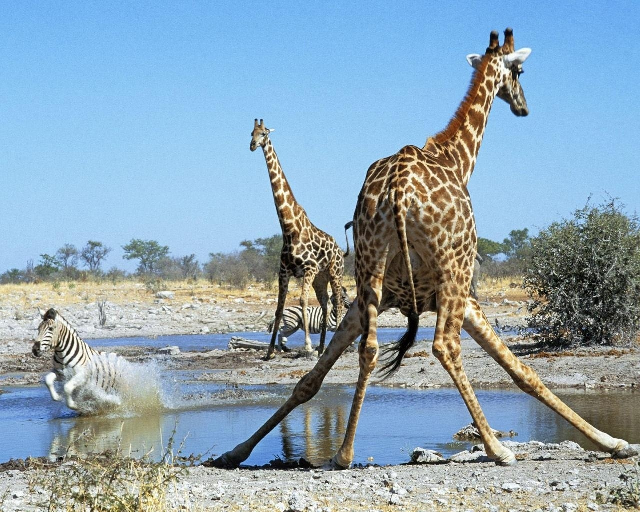 zebras and giraffes - photo #31