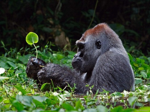 Wild Animals wallpaper entitled Gorilla