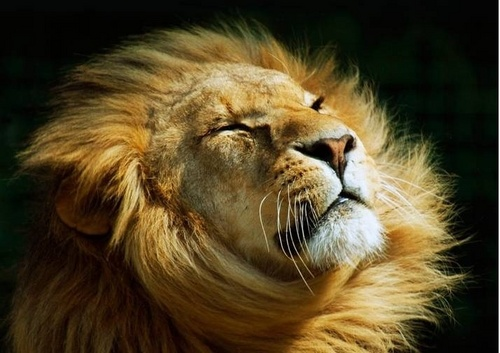 Wild Animals wallpaper entitled Lion
