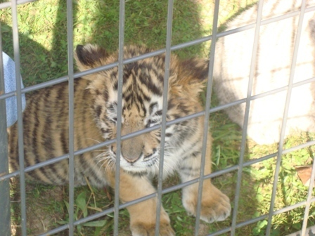Big Cat Rescue Images Cub At Wi Bcr Wallpaper And Background Photos