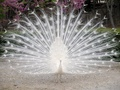 White Peacock - wild-animals wallpaper