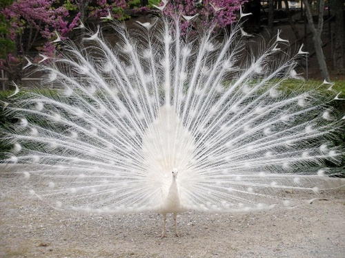 Wild Animals images White Peacock HD wallpaper and background photos