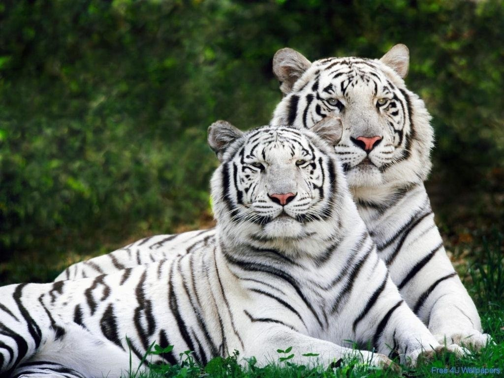Wild Animals White Tigers