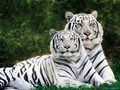 White Tigers - wild-animals wallpaper