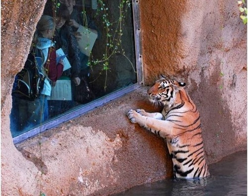 Window Tiger