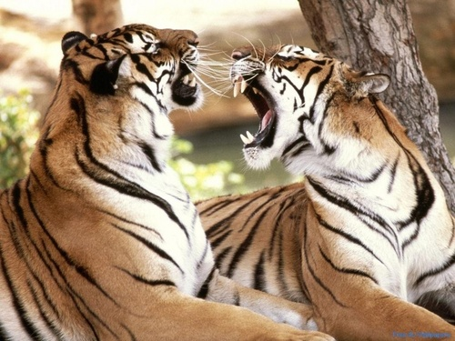Wild Animals wallpaper called Big Cat Fight