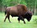 Bison - wild-animals wallpaper