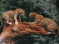 Cat Fight  - wild-animals wallpaper