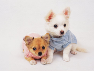 Fashion Dogs on Chihuahuas Wearing Clothes   Chihuahua Dogs Photo  2733021    Fanpop