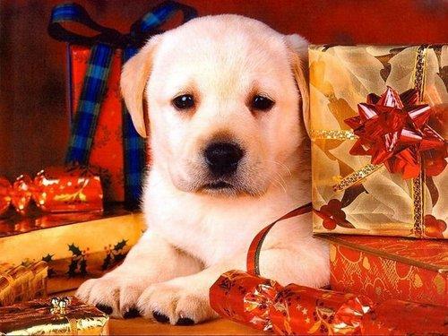 বড়দিন Doggy