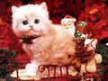 クリスマス Kitten