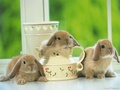 Cute Bunnys  - domestic-animals wallpaper