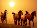 Horses - domestic-animals wallpaper