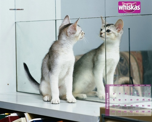 Domestic Animals wallpaper called Mirror Cat