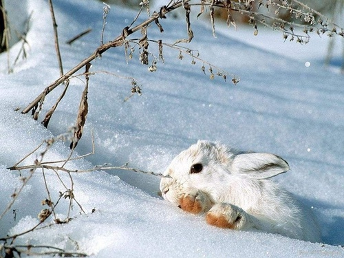 Wild Animals wallpaper titled Snow Bunny