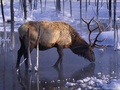 wild-animals - Stag wallpaper