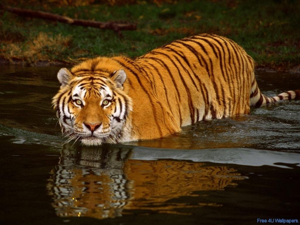 wild animals images tiger hd wallpaper and background