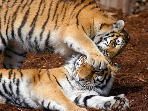 Wild Animals wallpaper entitled Tigers Playing