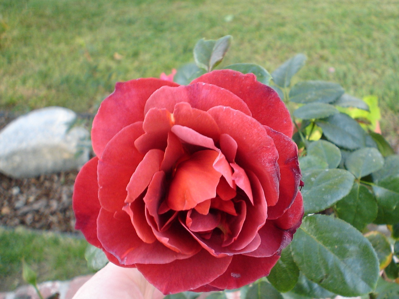 a unique colored rose gardening photo 2791575 fanpop