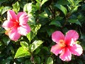 hibiscus - gardening photo