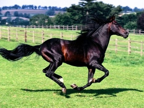 Black horse domestic animals photo