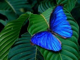 Blue バタフライ, 蝶