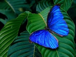 Blue бабочка