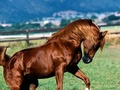 Brown Stallion