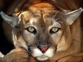 Cougar - wild-animals photo